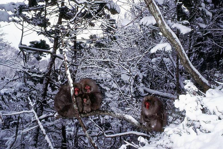 雪中のサルたち
