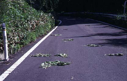 道路に散らばるエゾニュウの食痕