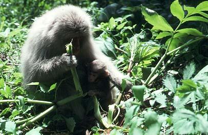エゾニュウを食べる親子サル