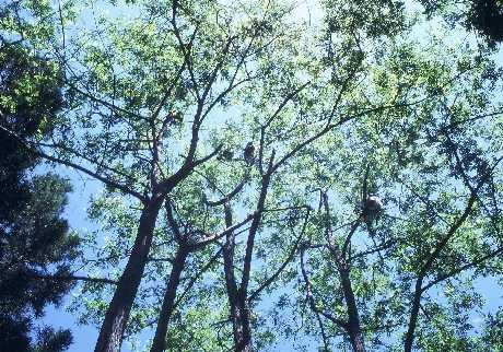 ハリエンジュの樹上で採食するサル