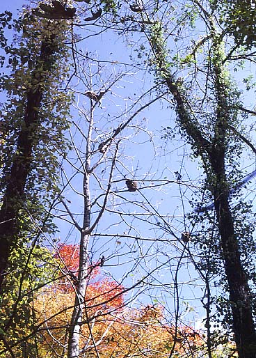 ホオノキの樹上のサルたち