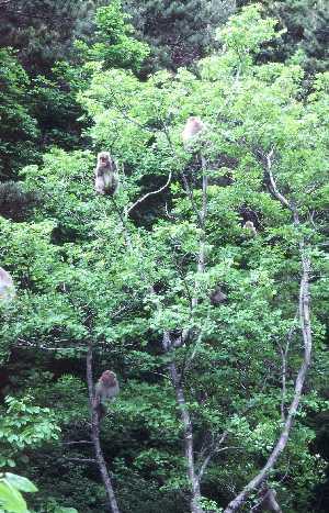 イタヤカエデの樹の中のサル