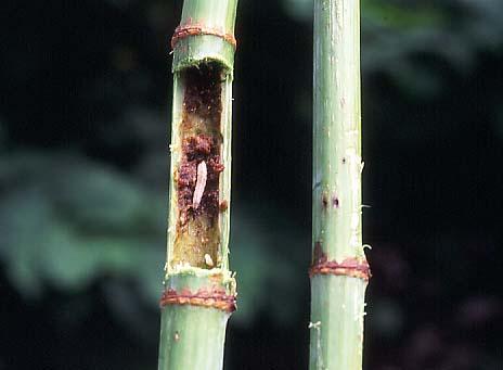 メイガの幼虫