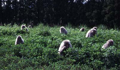 シロツメグサの群落に広がるサルたち