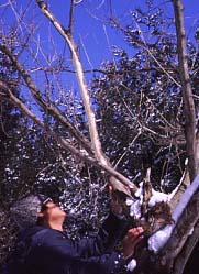 ヤマグワの樹皮の食痕